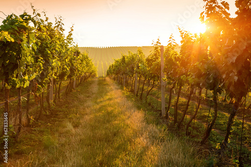 Papiers peints Vignoble Sunrise over a vineyard