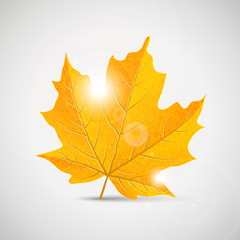 yellow maple leaf - illustration