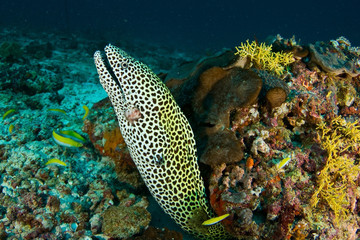 Spotted moray in the Maldives