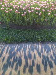 Shadows of tulips