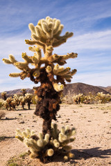 Large Teddy Bear Cholla Cactus