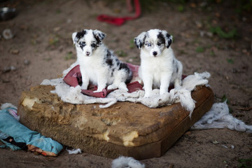 Border Collie puppies learn