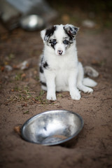 Border Collie puppy in bowl