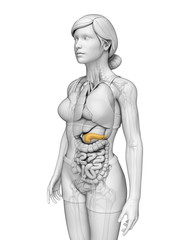 Female pancreas anatomy