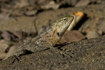 Lizard basking in the sun