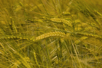 ripe ears of barley