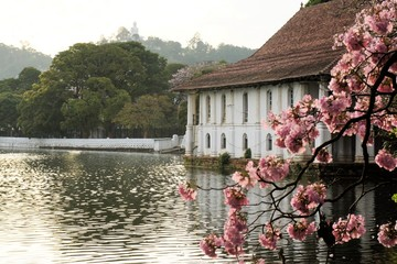 blooming cherry tree and Buddha, Kandy, Sri Lanka