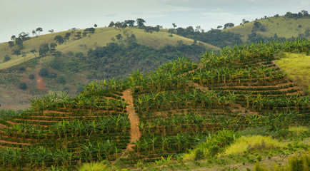 Banana and Coffee Plantation