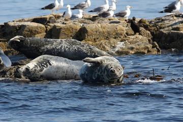 foca isole farne scozia