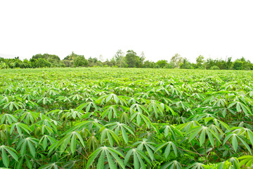 Row of cassava farm in thailand