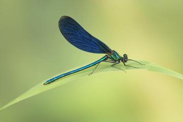 Blauflügel Prachtlibelle