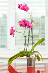 Purple orchid. Pot flower in transparent flowerpot