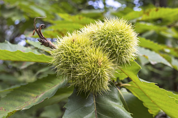 Horse chestnut on tree.