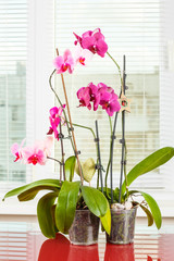 Purple orchid. Pot flower in transparent flowerpot