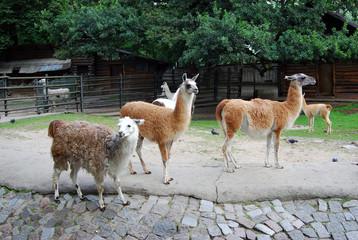 Several llamas.