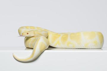 Albino Königspython wartet auf Beute