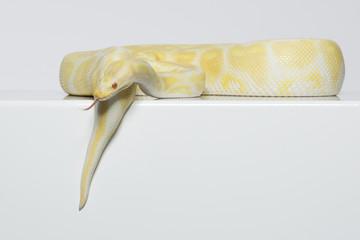albino, königspython