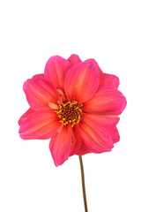 Isolated pink and yellow dahlia flower