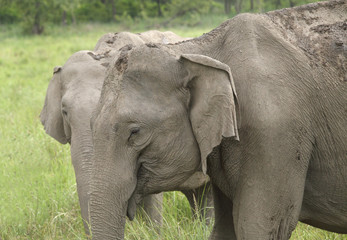 Closeup of Asiatic elephant at Jim Corbett