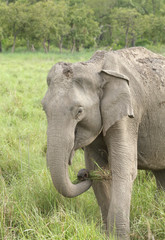 Asiatic elephant eating grass