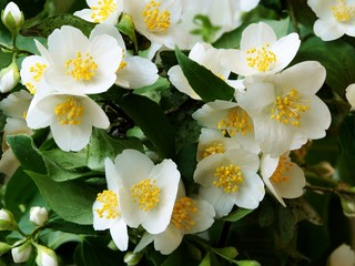 jasmine shrub blossoming