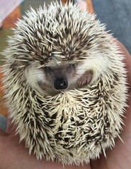 Sleepy hedgehog