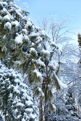 Snow covered fir tree boughs