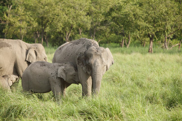 Calf and mother elephants