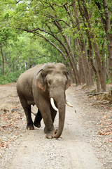 Tusker in the Jim Corbett