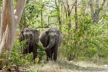 Two elephants coming out of the Jungle