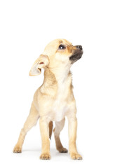 Scared puppy isolated on background