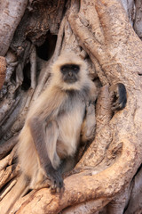 Gray langur (Semnopithecus dussumieri) sitting in a big tree, Ra