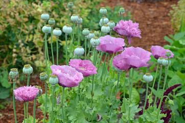 Fancy purple poppies