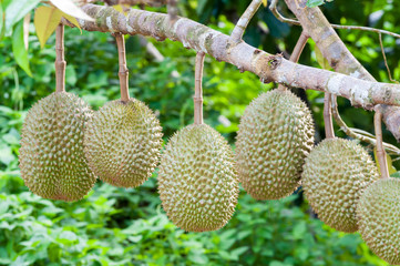 Fresh durian on tree