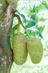 fresh green artocarpus integer (champedak or bankong) on tree