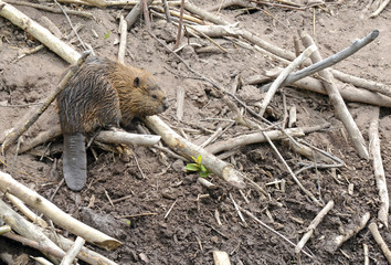 Baby Beaver on Lodge in Pond