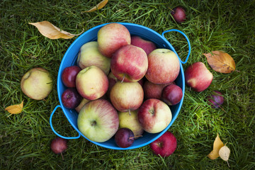Fresh apples harvest