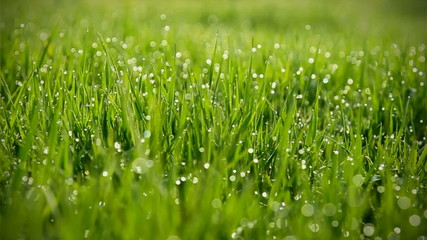 Grass With Dew  Trembles in the wind.