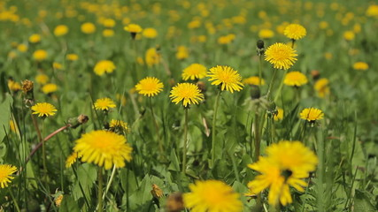 Background From Dandelion meadow, Movement of a Camera is Glide