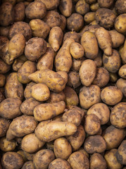 Raw dirty potatoes in market. Potatoes as background.
