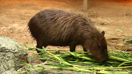 Capybara in chiangmai-nightsafari, chiangmai Thailand
