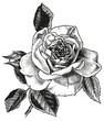 Obrazy na płótnie, fototapety, zdjęcia, fotoobrazy drukowane : rose hand drawing