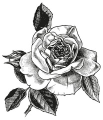rose hand drawing