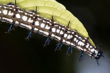 caterpillar, black white and blue caterpillar catching a leaf