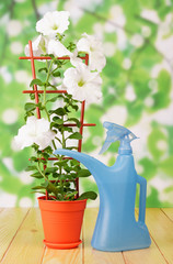 White petunia flower in pot