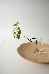 polyscias, branch of polyscias in water for room decoration