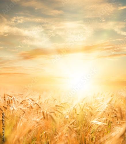 Zdjęcia na płótnie, fototapety na wymiar, obrazy na ścianę : Beautiful wheat field.