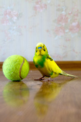 wavy parrot on the floor next to a tennis ball