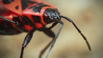 Red beetle moves their antennae