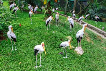 group of milky stork